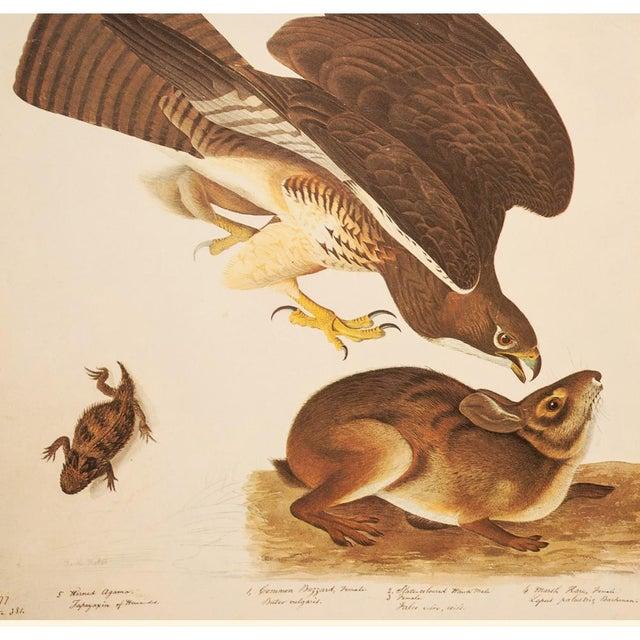 John James Audubon Swaison's Hawk, Marsh Hare and Horned Agarma by Audubon, Vintage Cottage Print For Sale - Image 4 of 9