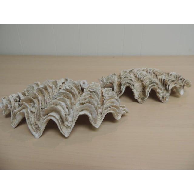 Vintage Half Clam Sea Shells - a Pair - Image 4 of 5