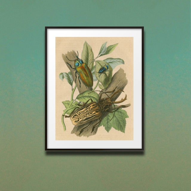French Vintage 3 Beetles Archival Print For Sale - Image 3 of 3