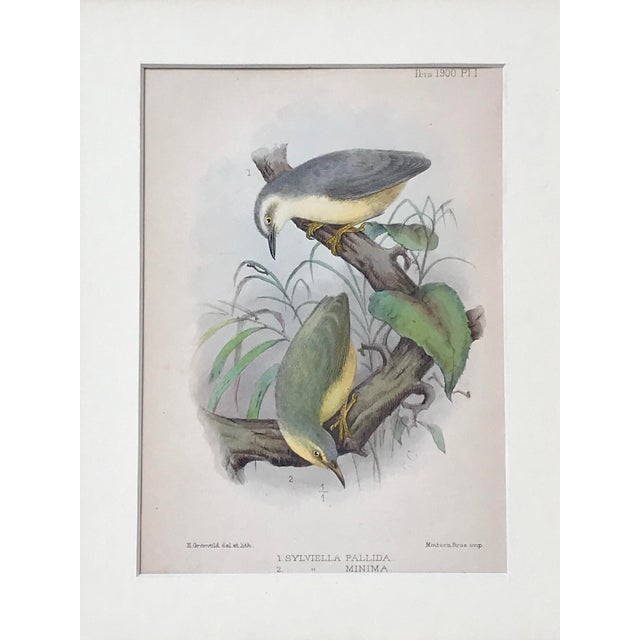 Original antique chromolithographs of birds. Published in Isis Ornithological Journal, in the 1909 edition presented...