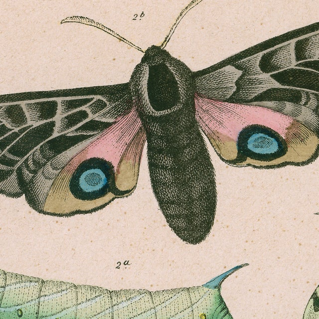 Antique Moths & Caterpillars Archival Print For Sale - Image 4 of 4