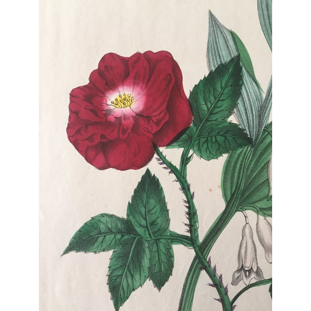 Ever Blooming Rose Hand Colored Lithograph C.1900 - Image 3 of 4