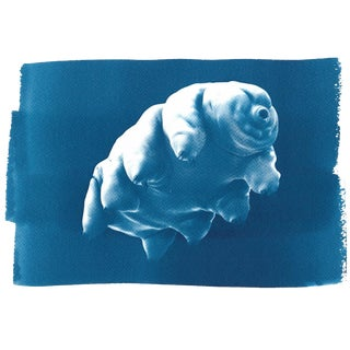 Handmade Cyanotype Print on Watercolor Paper /Tardigrade or Water Bear / 50x70cm / Cyanotype on Watercolor Paper / Limited Edition For Sale