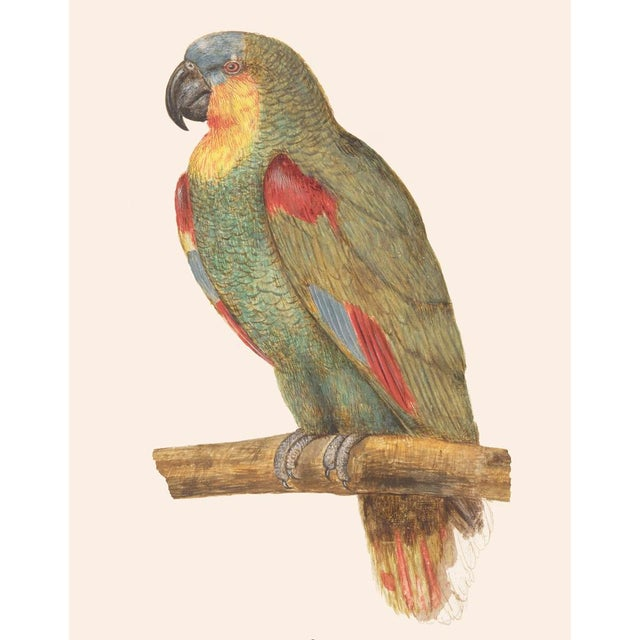 1590s Large Print of Parrot by Anselmus Boëtius De Boodt For Sale In Dallas - Image 6 of 8
