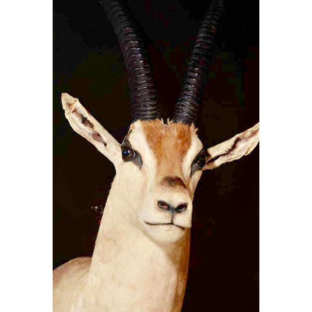 Vintage African Antelope Gazelle Mounted Taxidermy For Sale - Image 4 of 10