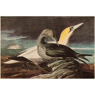 1960s Cottage Style Lithograph of a Gannet and Sempalmated Plovera by John James Audubon For Sale