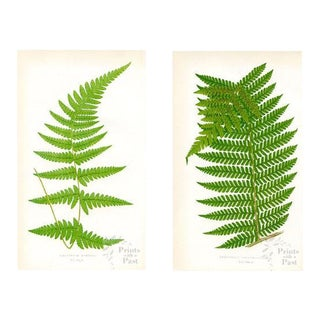 1850s English Fern Prints, - a Pair For Sale