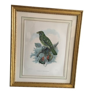 "Early 20th Century Antique J.Wolf & J.Smith ""Ailureadus Crassirostris"" Lithograph Print For Sale"
