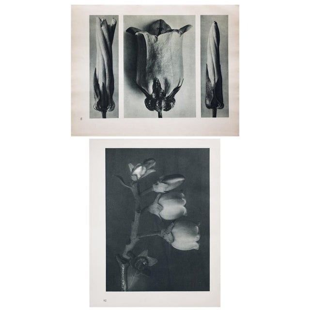 Drawing/Sketching Materials Karl Blossfeldt Double Sided Photogravure N91-92 For Sale - Image 7 of 7