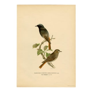 """""""Phoenicurus Ochruros Gibraltariensis"""" (Black Redstart), Early 20th Cent. Lithograph For Sale"""