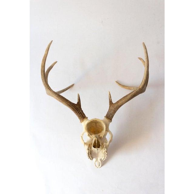 Boho Chic 8-Point Whitetail Deer Skull For Sale - Image 3 of 10