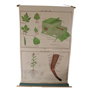 1950s Jurica Biology Poster of The Leaf and Root System For Sale
