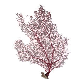 Natural Pink & Yellow Bahamian Sea Fan For Sale