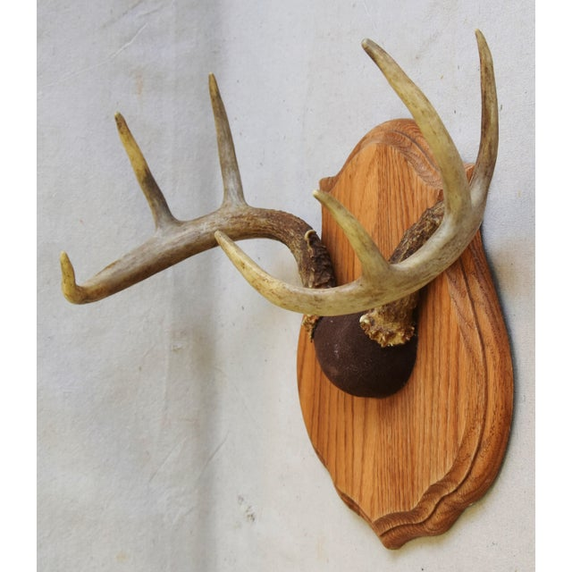 Vintage Mounted Trophy Antlers on Wood Plaque For Sale In Los Angeles - Image 6 of 8