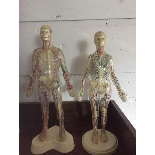 Male And Female Anatomical Figures A Pair Chairish