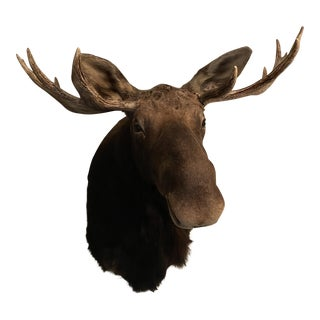 1980s Vintage Montana Moose Head Mount For Sale