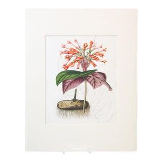 Vintage Orange Botanical Print For Sale