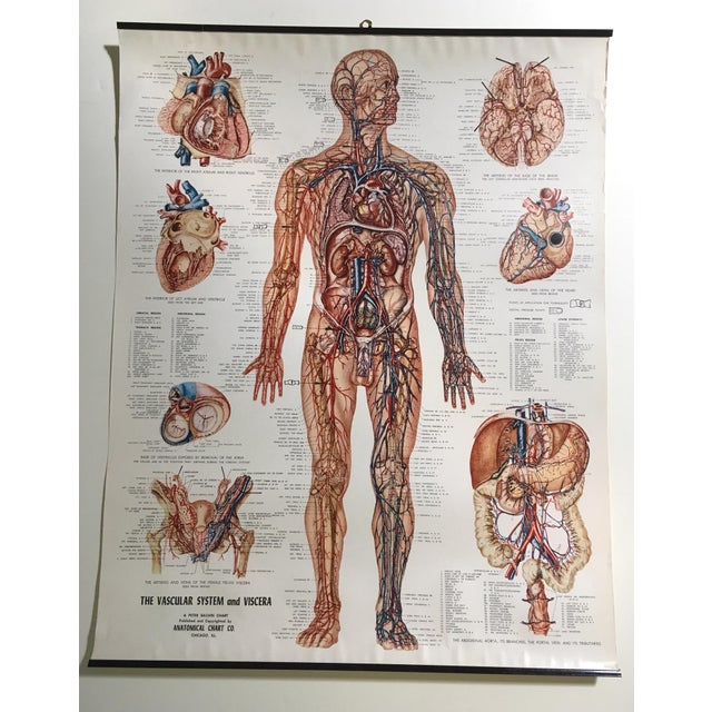 Vintage Mid-Century Anatomical Chart - Vascular System and Viscera ...