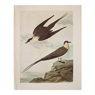 1966 Vintage Cottage Print of Long-Tailed Jaeger by Audubon For Sale