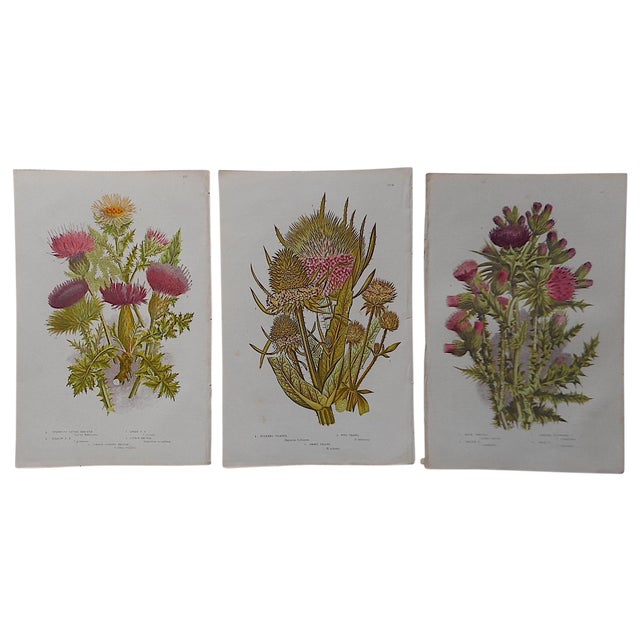 Antique Botanical Lithographs - Set of 3 For Sale