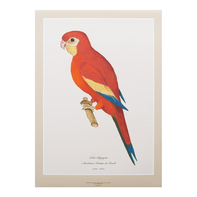 1590s Large Print of Red Parrot by Anselmus De Boodt For Sale