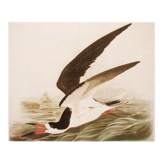 "XL 1966 Audubon ""Black Skimmer"", Cottage Style Vintage Print For Sale"