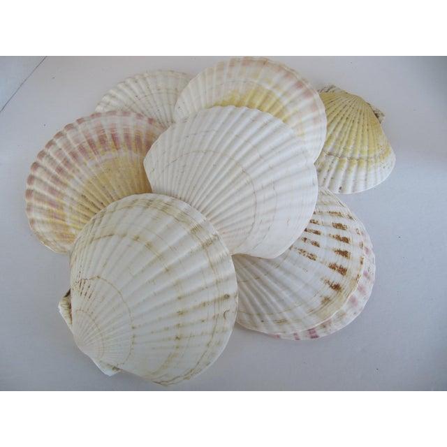 Natural Sea Shells - Set of 8 - Image 6 of 6