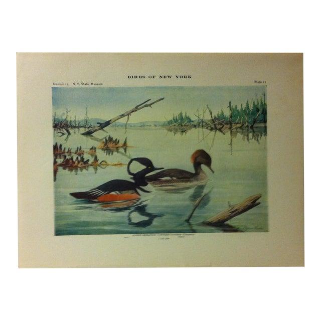 "1925 ""Hooded Merganser"" the State Museum Birds of New York Print For Sale"