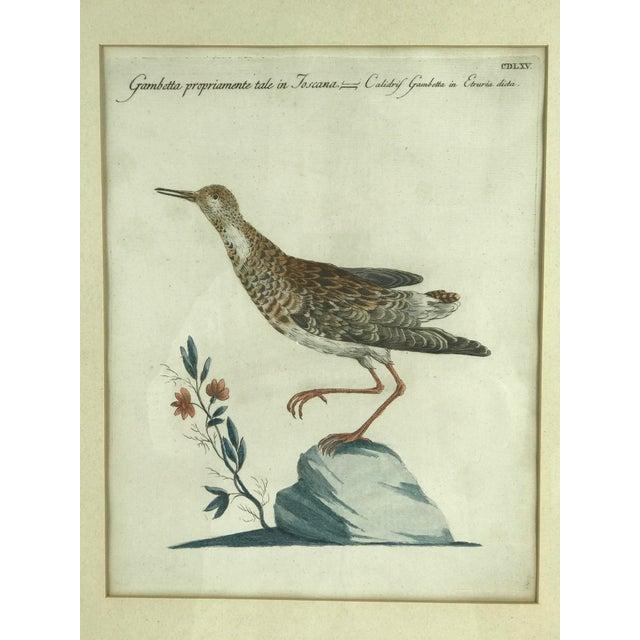 """Ca., 1776 hand colored print titled """"Gambetta Proportioamente Tale In Toscana - Calidris Gambetta In Etruria Dicta""""..."""