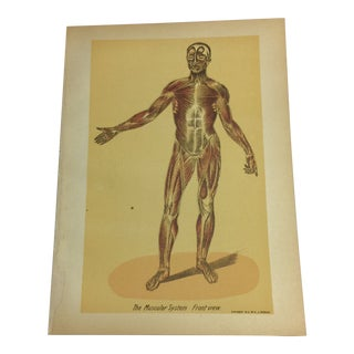 1920s Antique Muscular System Medical Lithograph Print