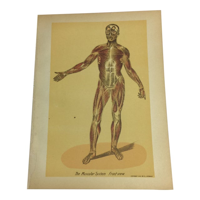 1920s Antique Muscular System Medical Lithograph Print For Sale