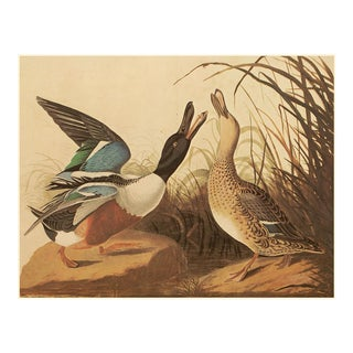 1966 Shoveller Ducks by Audubon, XL Vintage Cottage Print For Sale
