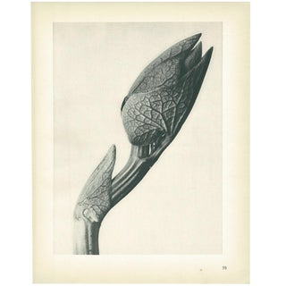 1928 Karl Blossfeldt Original Period Photogravure N58 of Aristolochia Clematitis For Sale