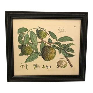 Atamaram Botanical Illustration For Sale