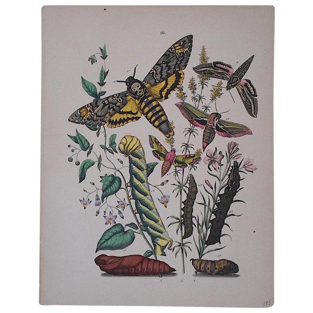 Antique Butterflies/Moths Chromolithograph - Image 1 of 3