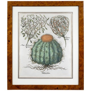 Hand Colored Engraving of a Melocactus by Basiius Besler For Sale
