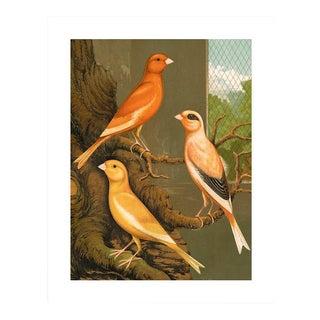 Antique '3 Orange Canaries' Archival Print For Sale