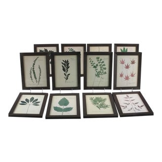Framed Pressed Leaf Specimen Replicas - Set of 12