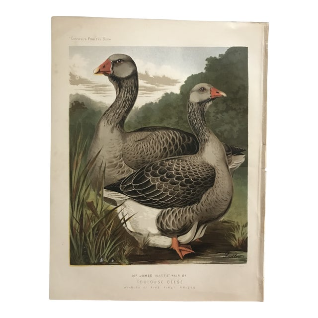1890 Country Toulouse Geese Chromolithograph From Cassell's Poultry Book For Sale