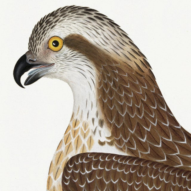 Giclee reproduction from the Watercolors of Olof Rudbeck by C.F.A Edition. This beautiful Osprey of Rudbeck Birds,...