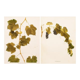 U.P.Hedrick Antique Grapes of Ny Photogravures - Set of 2