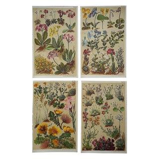Antique Botanical Alpine Flower Lithographs- Set of 4