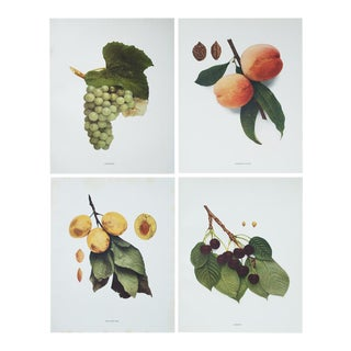 Large Antique Fruit Photogravures - Set of 4