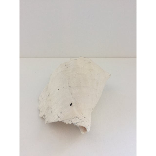 Large Conch Shell For Sale - Image 4 of 6