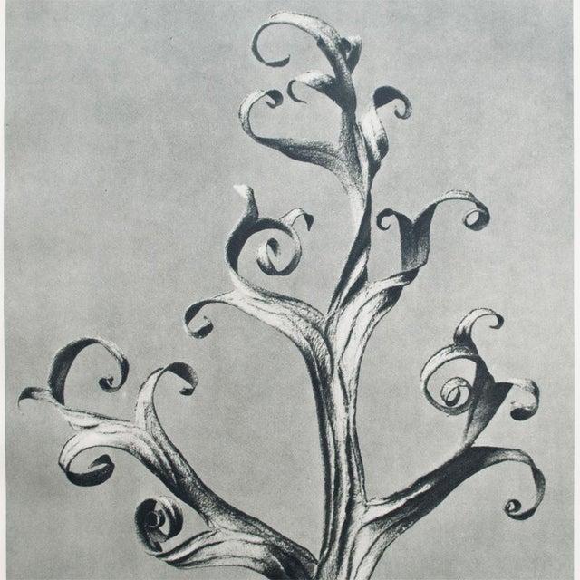 1935 Blossfeldt Photogravure N39-40 - Image 3 of 11