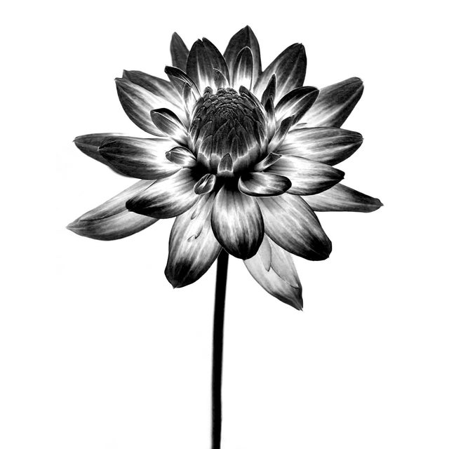 A macro black and white photograph of a flower, printed on archival paper. This photo has a great graphic presence, a...