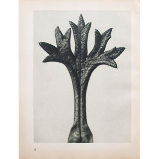 Karl Blossfeldt Photogravure N31-32, 1935