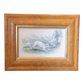 19th Century Watercolored Engraving of White Hare For Sale