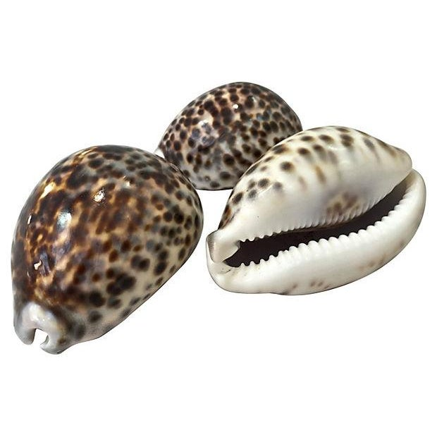 Large Cowrie Shells - S/3 - Image 3 of 5