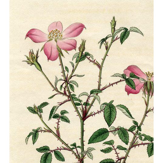 "Original hand colored engraving published in the early 1800s in ""The Botanical Register"", a British horticultural journal..."